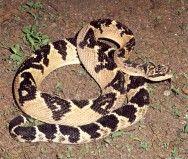 As Cobras Mais Venenosas Do Brasil Cobras Venenosas Cobras