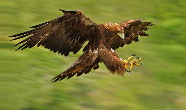 23 Outstanding Photos of Golden Eagle - Smashing Photoz