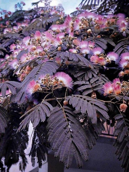 Chocolate Mimosa Silk Tree. Full Sun.