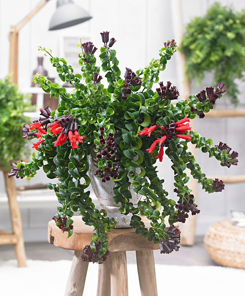 Lipstick Plant Blooming Flowers Lipstick Plant Is One Of The