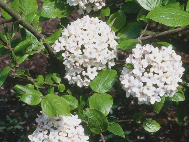 A compact deciduous shrub the viburnum offers clusters of for White flowering bush
