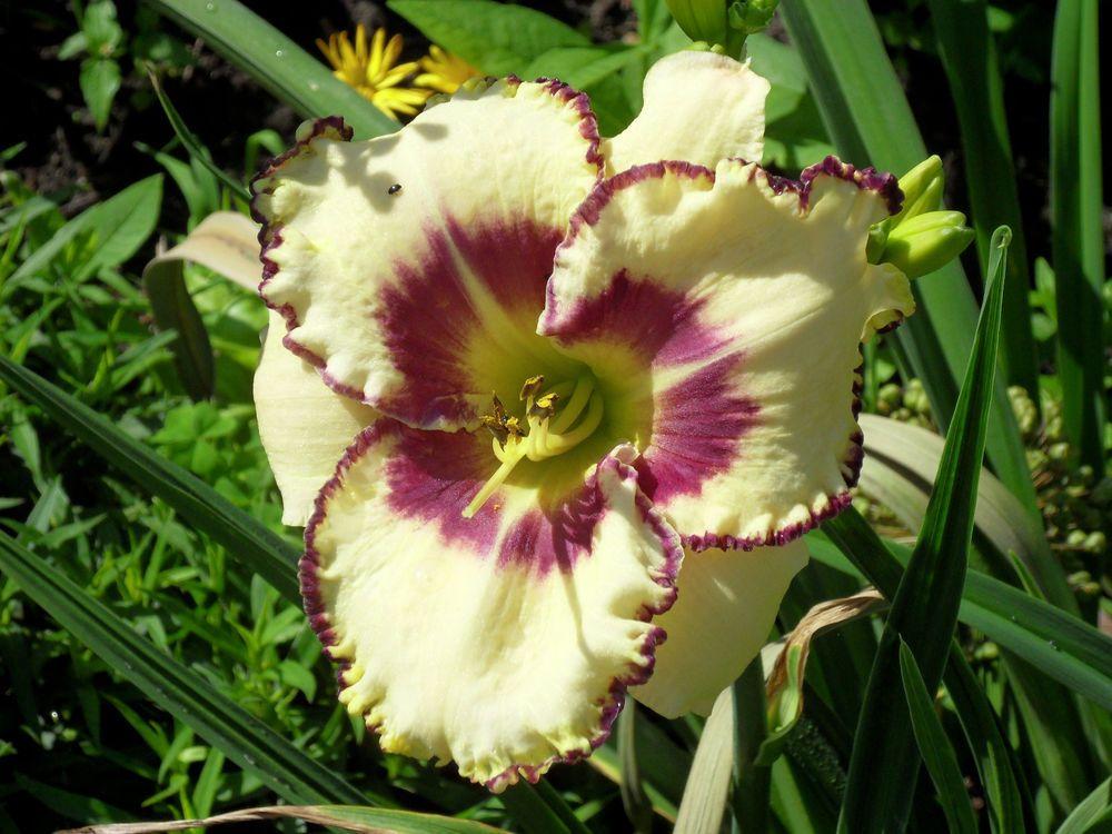 Taglilie Daylily  Hemerocallis  Belightful   1   Fächer