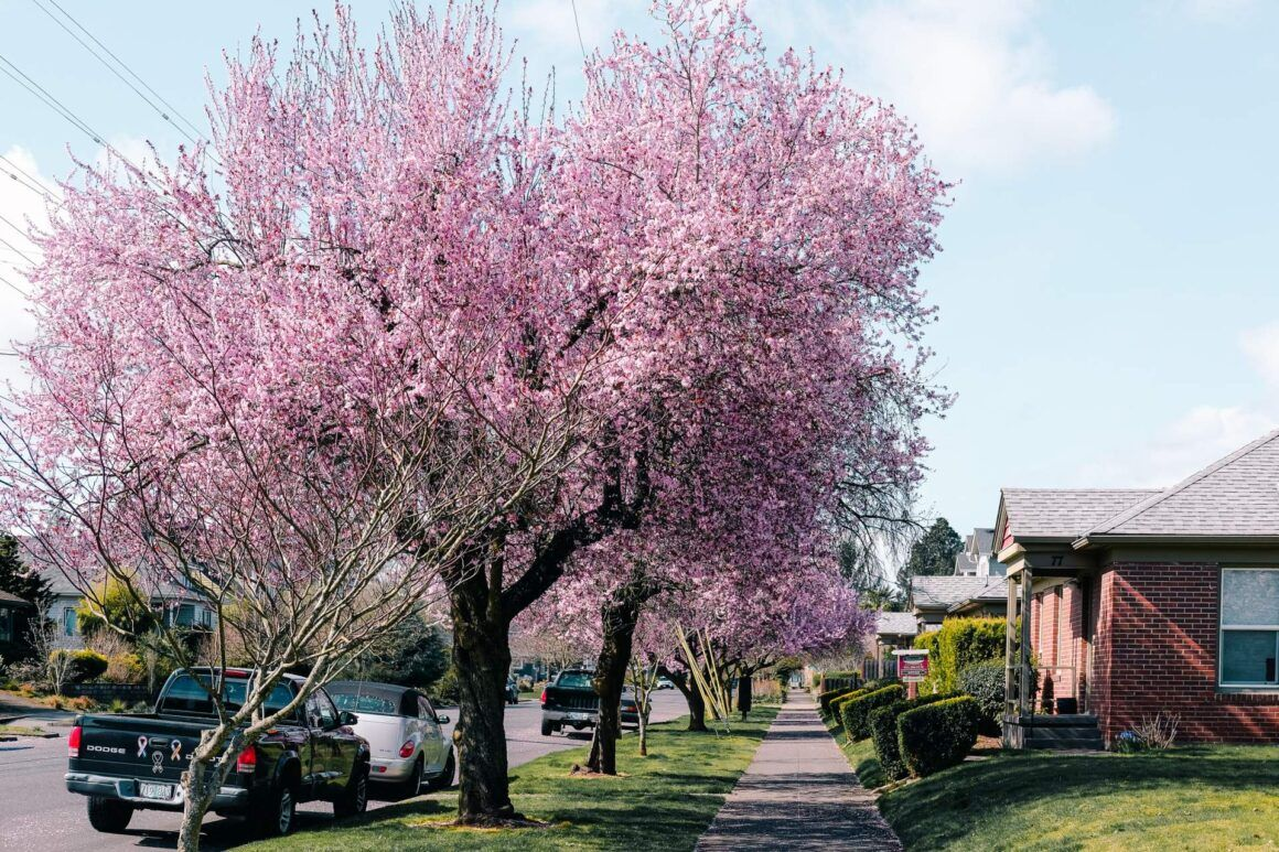 Cherry Blossom Portland Neighbourhoods Portland Japanese Garden Japanese Garden Plants Japanese Garden