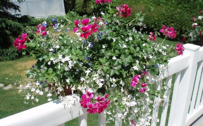g ranium lierre lob lia retombant jardins lob lia. Black Bedroom Furniture Sets. Home Design Ideas