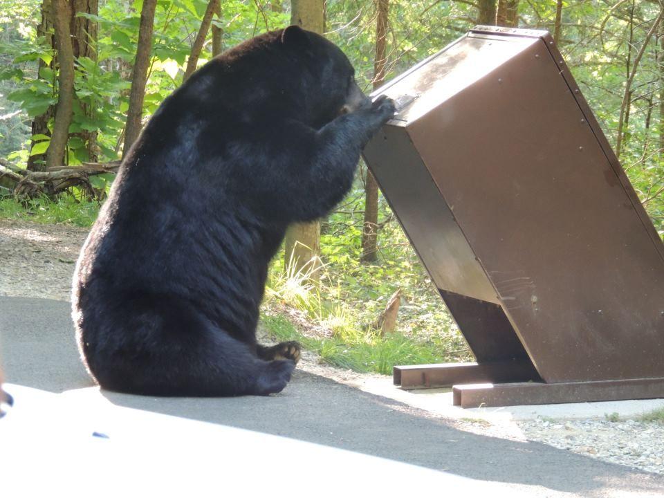 Hungry bear black bear american black bear bear photos