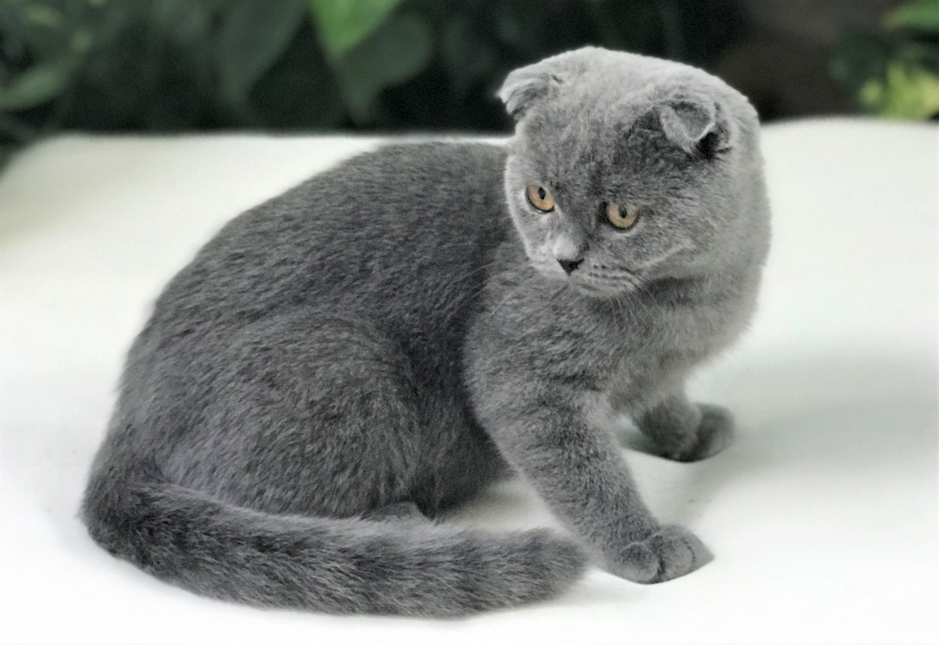 Scottish Fold Blue Female Kitten 880kittens Scottish Fold Kittens Cat Scottish Fold Kitten