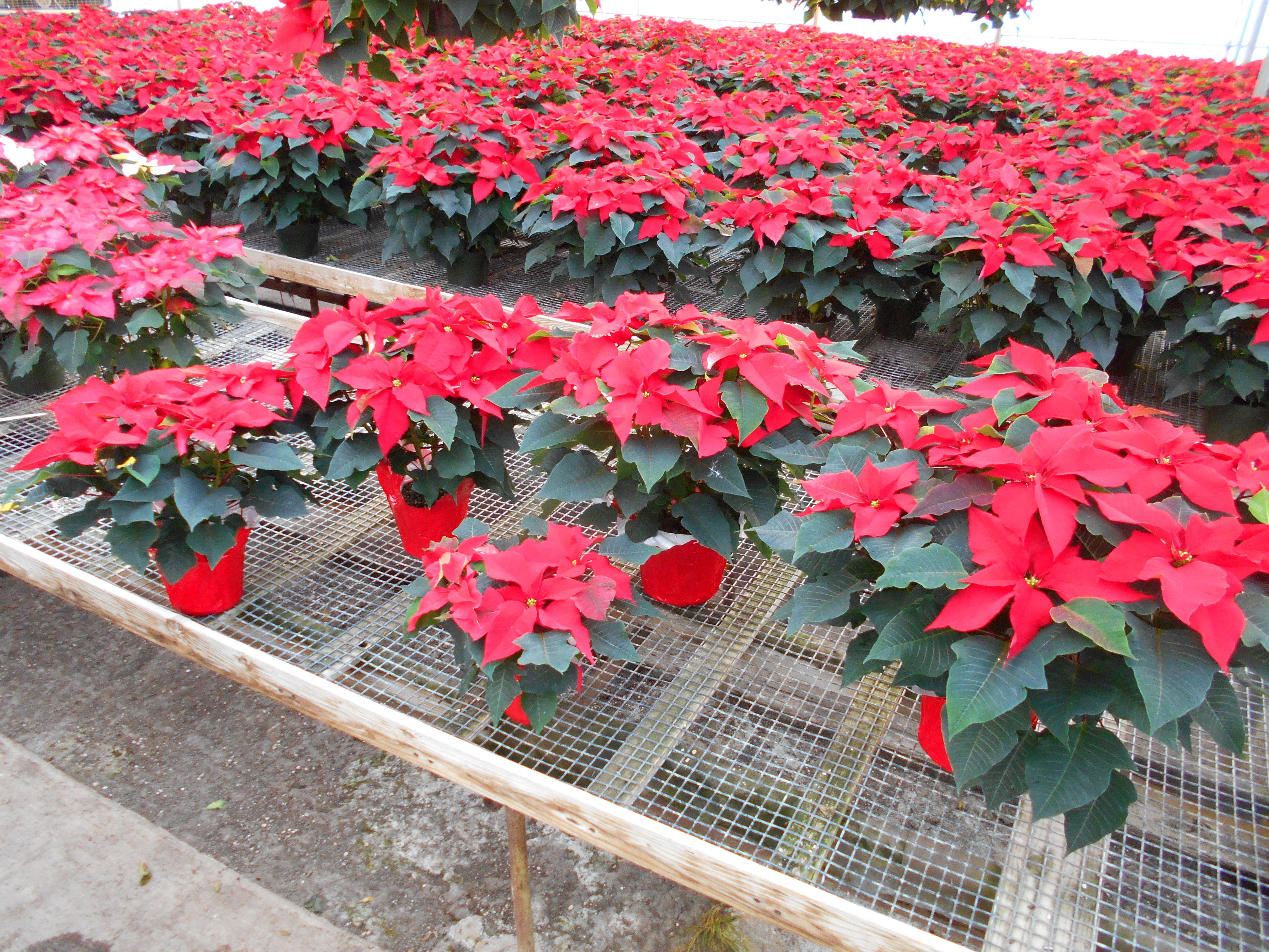 Comparing Sizes Our Single Plant In A 6 1 2 Inch Pot Poinsettias Are Graded By Bloom Count Either 5 6 Or 7 8 Blooms Likewise Our L Poinsettia Plants Bloom