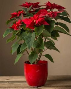 29 Most Beautiful Houseplants You Never Knew About Poinsettia Plant Indoor Plants Plants