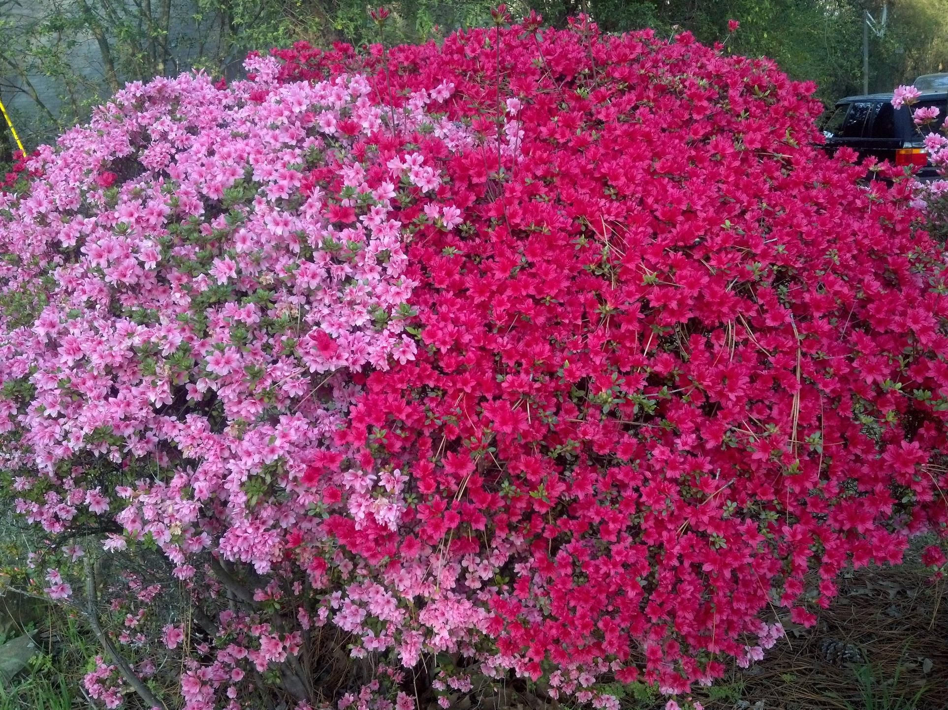 Pink And Red Azalea Bushes In My Front Yard Looks Like One Big
