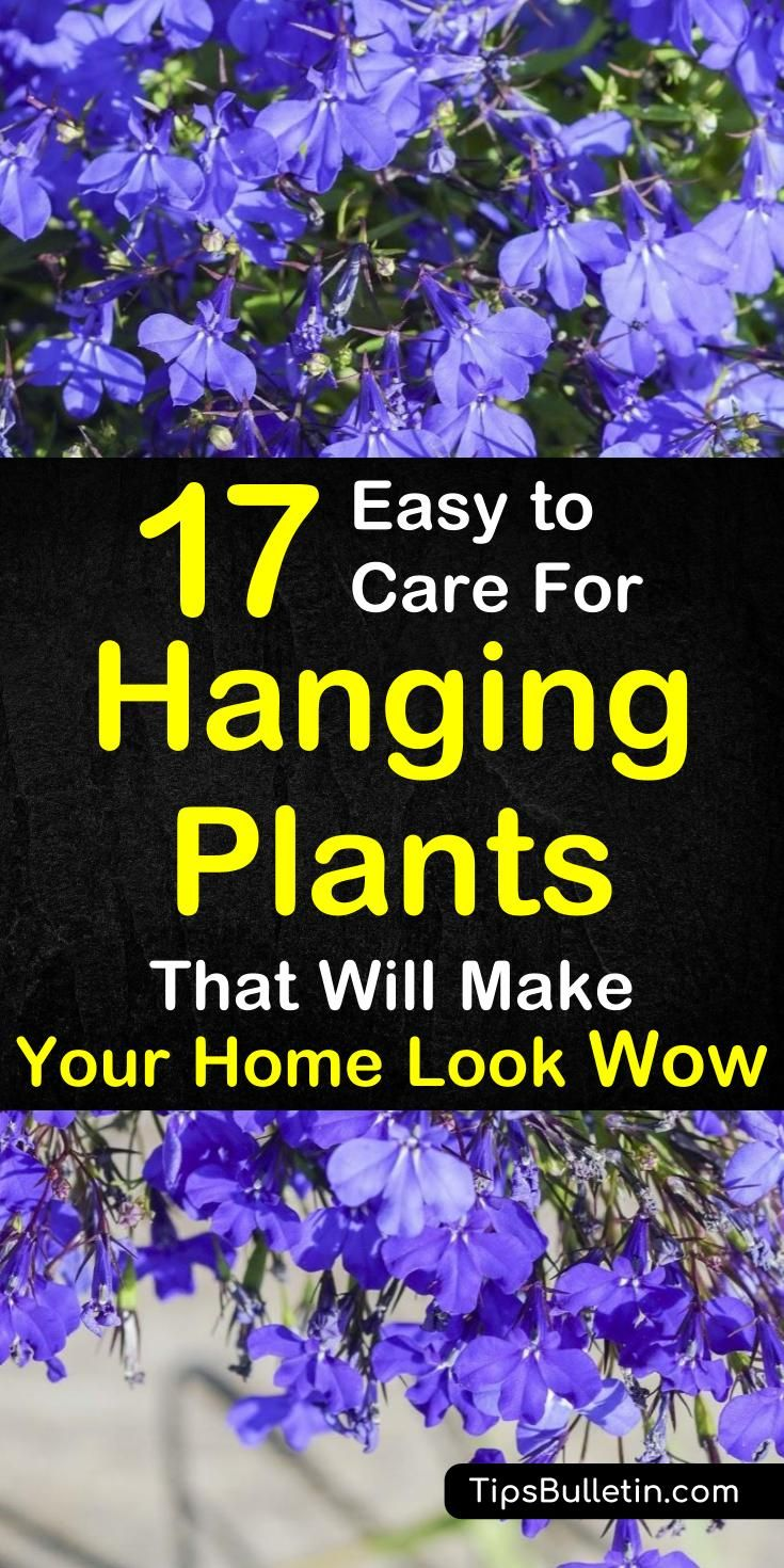 17 Easy to Care for Hanging Plants That Will Make Your Home Look Wow is part of Living Room Plants Easy - Get a fresh look at your home with these beautiful easy to care for houseplants for your hanging baskets or pots  Ideal for indoor or outdoor, be it in bedroom, bathroom or living room or on your porch, patio or pergola  housplants hangingbasket hangingplants