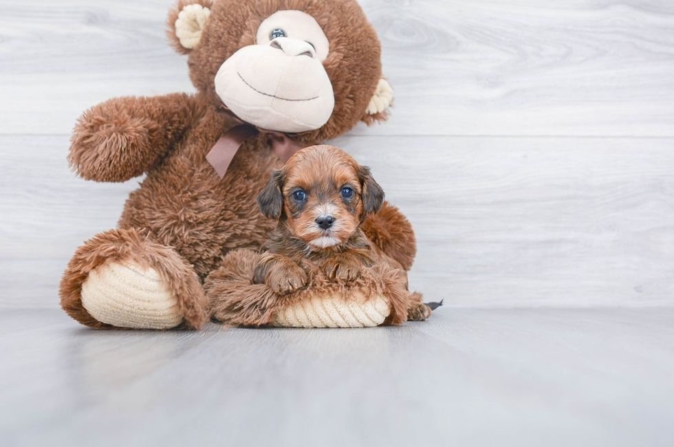 Teacup puppy rescue ohio