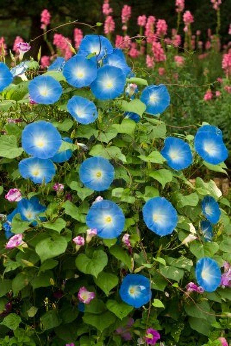 Stock Photo Flowering Vines Morning Glory Flowers Blue Morning Glory