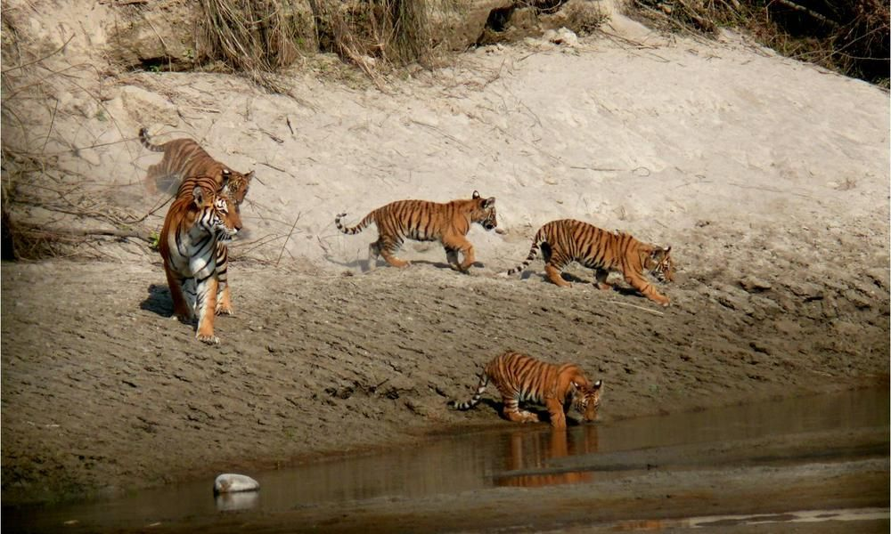 tigers Win for Tigers in Nepal Stories WWF
