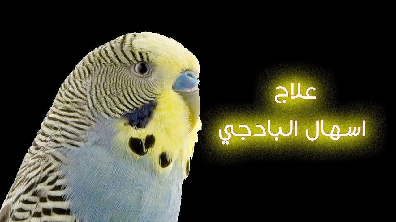 انواع الإسهال عند البادجى وعلاجه علاج اسهال البادجي Diarrhea In Budgie Budgies Parrot Animals