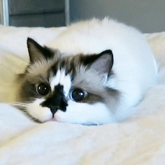 Meet Albert The Cutest Munchkin Cat With Unique Skull Nose And 450 000 Followers Animaux Adorables Chat Mignon Chats Adorables