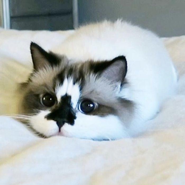 voici albert un chat munchkin c l bre sur instagram avec de magnifiques yeux bleus et un. Black Bedroom Furniture Sets. Home Design Ideas