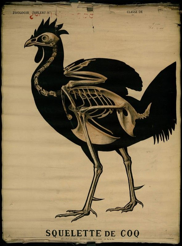 Pin By Lea Opitz On Chickens Pinterest Anatomy Skeletons And