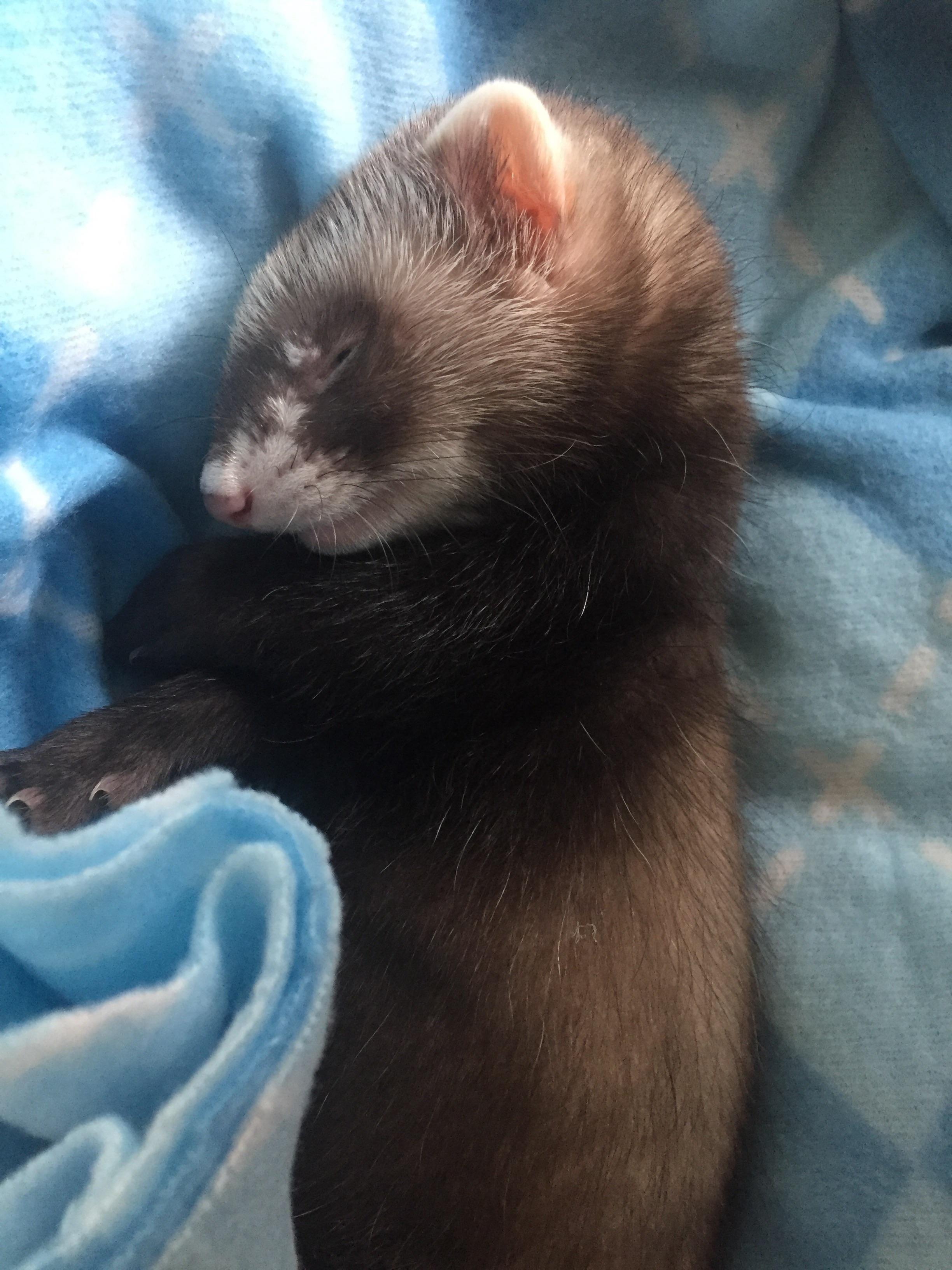 Koda having a nap instagram koda.ferret http//ift.tt