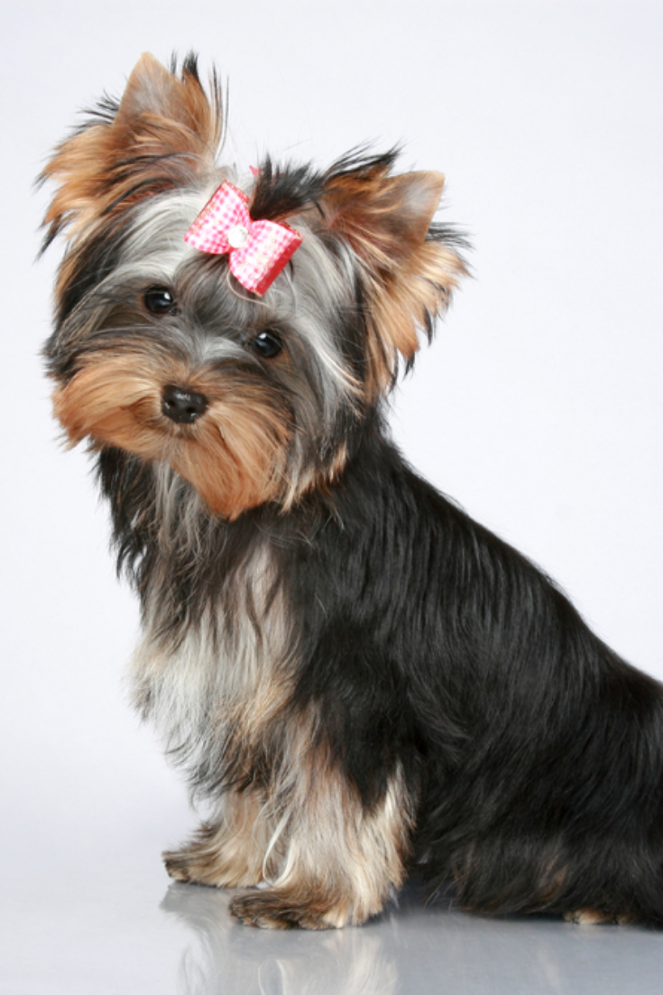 Yorkshire Terrier Puppy Sits On Grey Background Yorkshireterrier Yorkshire Terrier Yorkshire Terrier Puppies Terrier