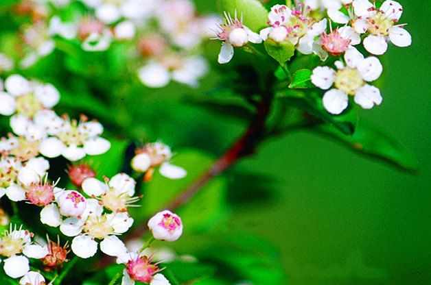 Red Chokeberry Clusters Of Pink White Flowers In Spring