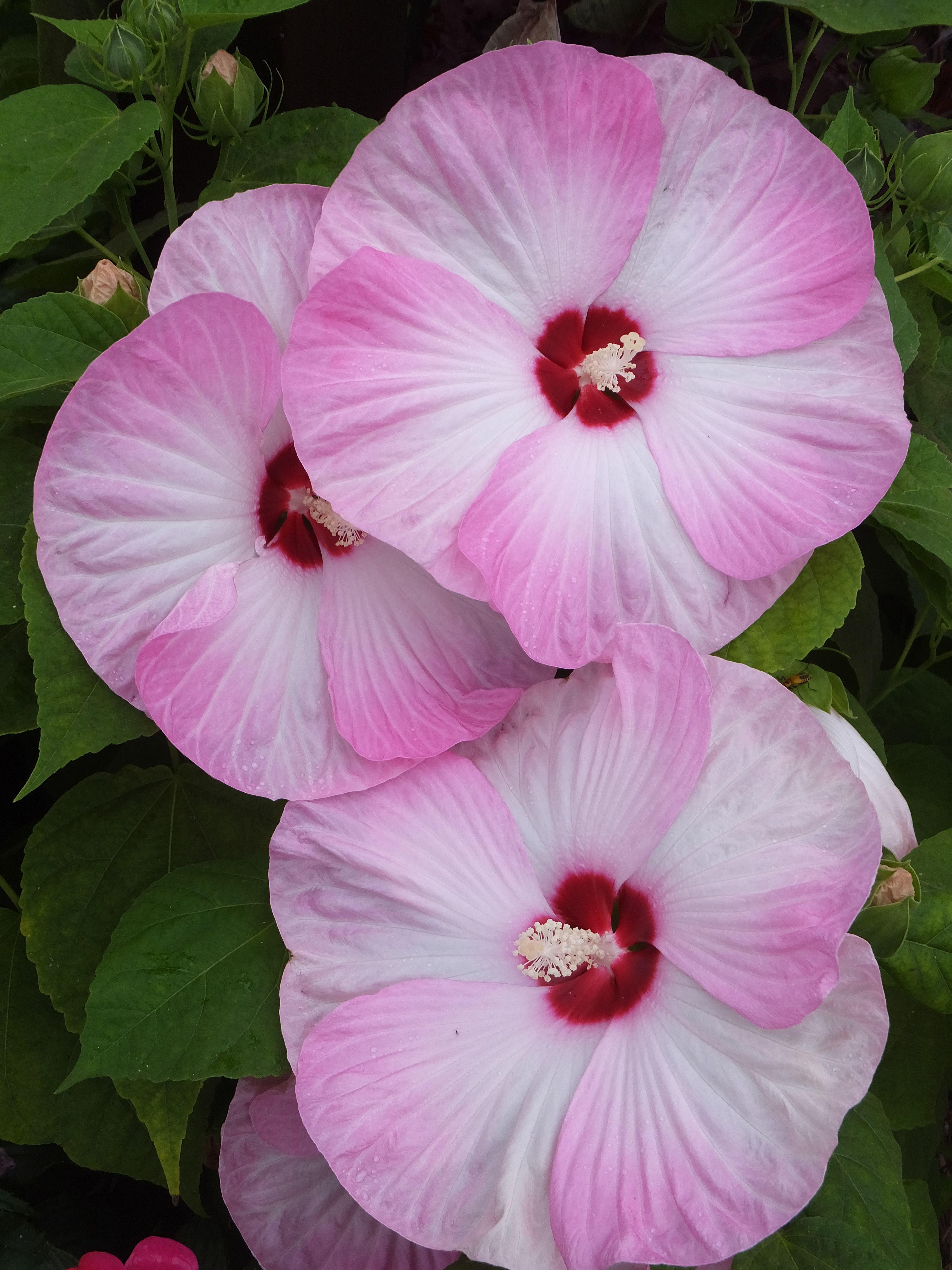 Pink & White Hibiscus | Beautiful flowers, Hibiscus, White ...