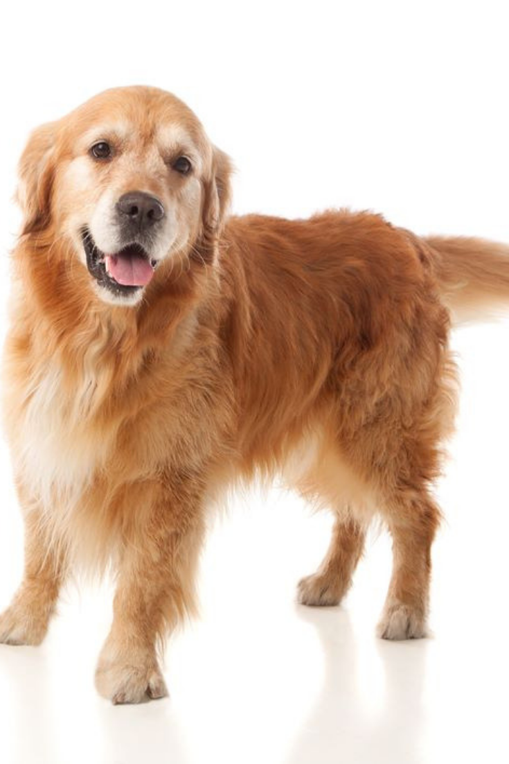 Beautiful Golden Retriever Dog Breed In Isolated Studio On White Background Goldenretriever Golden Retriever Dogs Golden Retriever Golden Retriever Dog Breeds