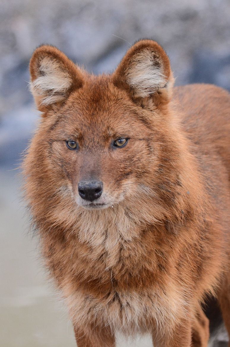 Dhole (Cuon alpinus), also called the Asiatic wild dog or