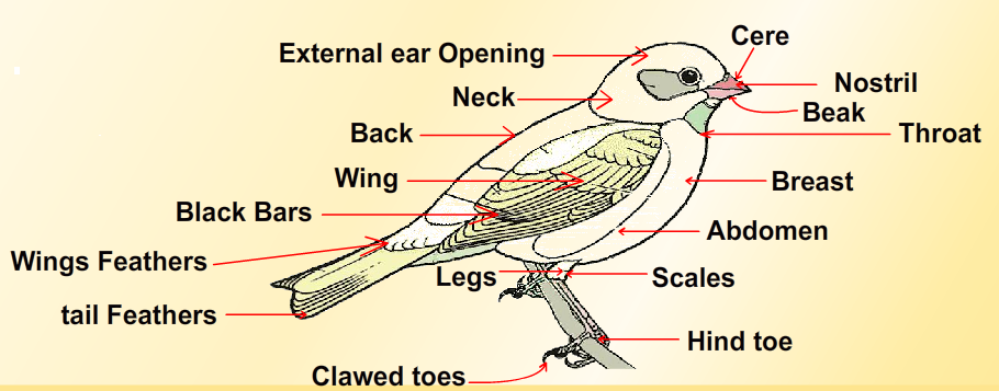 Diagram of a Bird which is part of Phylum Chordata | Phylum ...