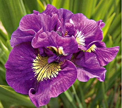 Iris Sibirica Double Standards Common Name Siberian Iris Hardiness Zone 3 8 S 3 9 W Height 34 Deer With Images White Flower Farm Flowers Perennials Flower Seeds