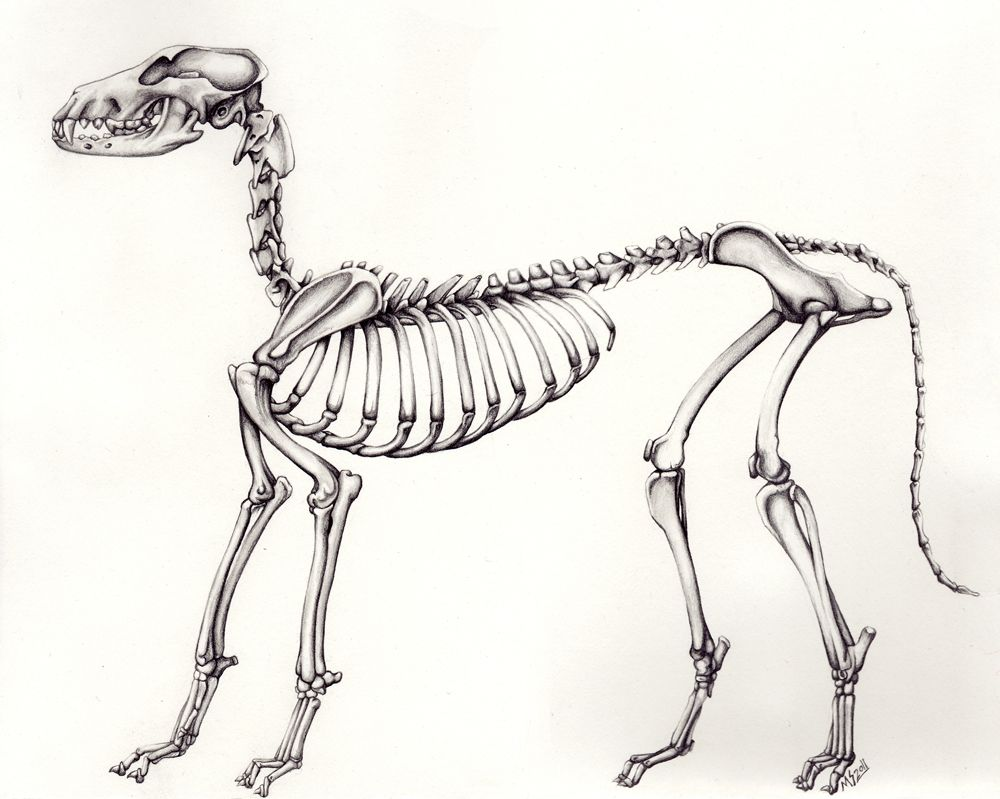 Dog Skeleton Anatomy Dog skeleton by xxragnoraukxx | Bremen Town ...