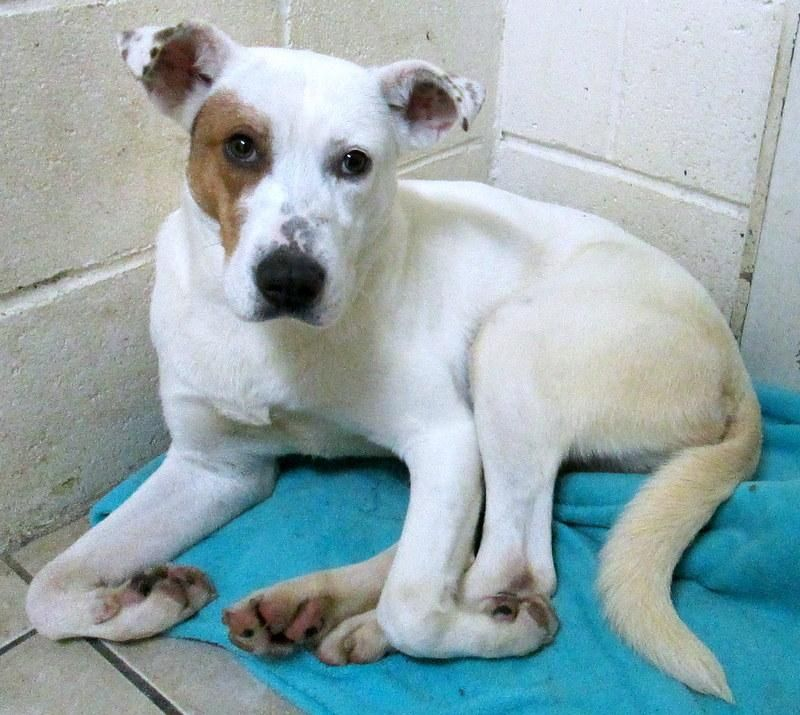 Adopt Cotton On Dog Adoption Labrador Retriever Canaan Dog
