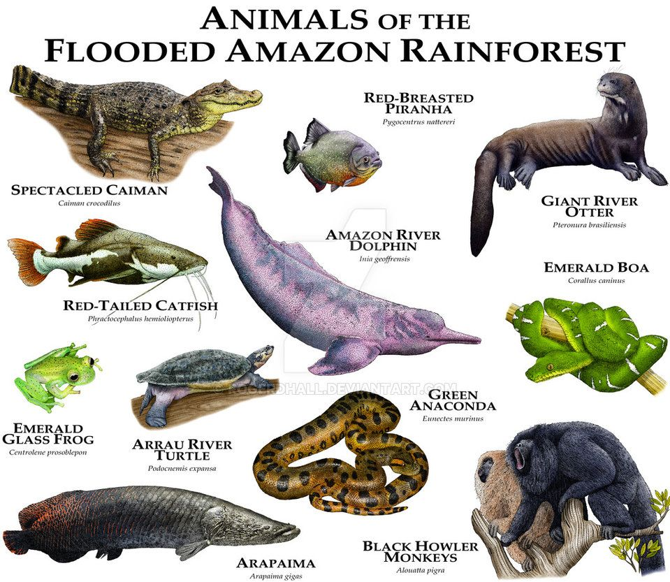 Animals of the Amazon Flooded Rainforest by rogerdhall.deviantart ...
