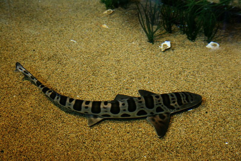 Juvenile Tiger Shark |...