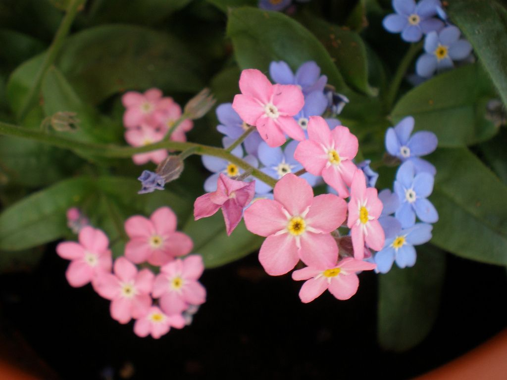 Pink And Blue Forget Me Not Tattoos Pinterest Forget Tattoo