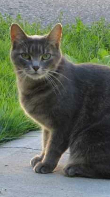 The Brazilian Shorthair Cat Ship To Shore To Home Cat Furry