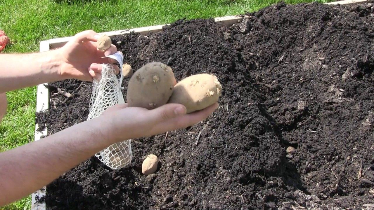FINALLY Planting Potatoes! Planting potatoes, Potatoes