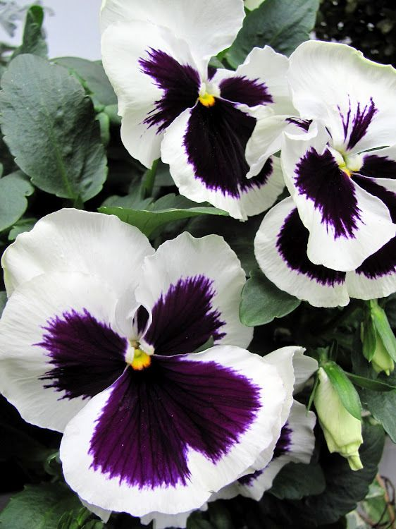 Pansy--- my favorite container gardening flower...these are gorgeous!