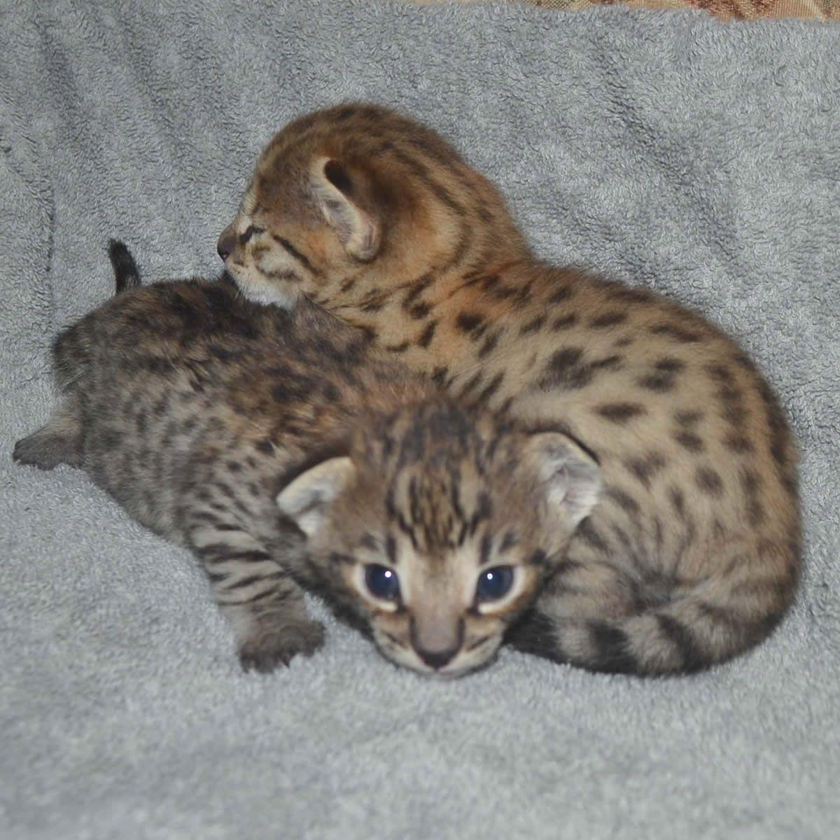 Pin By Amanukatz On Savannah Kittens Pictures Savannah Kitten