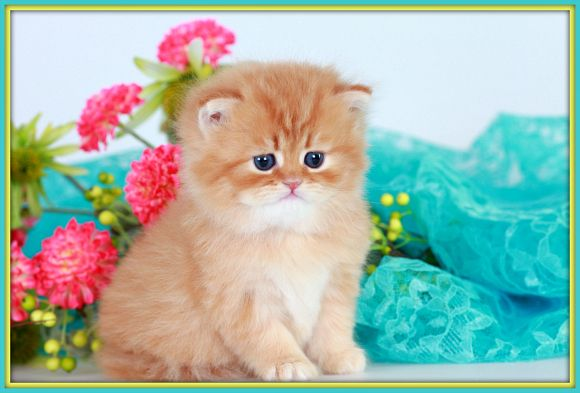 Red Tabby Toy Persian Kitten Persian Kittens Cute Cats And Dogs