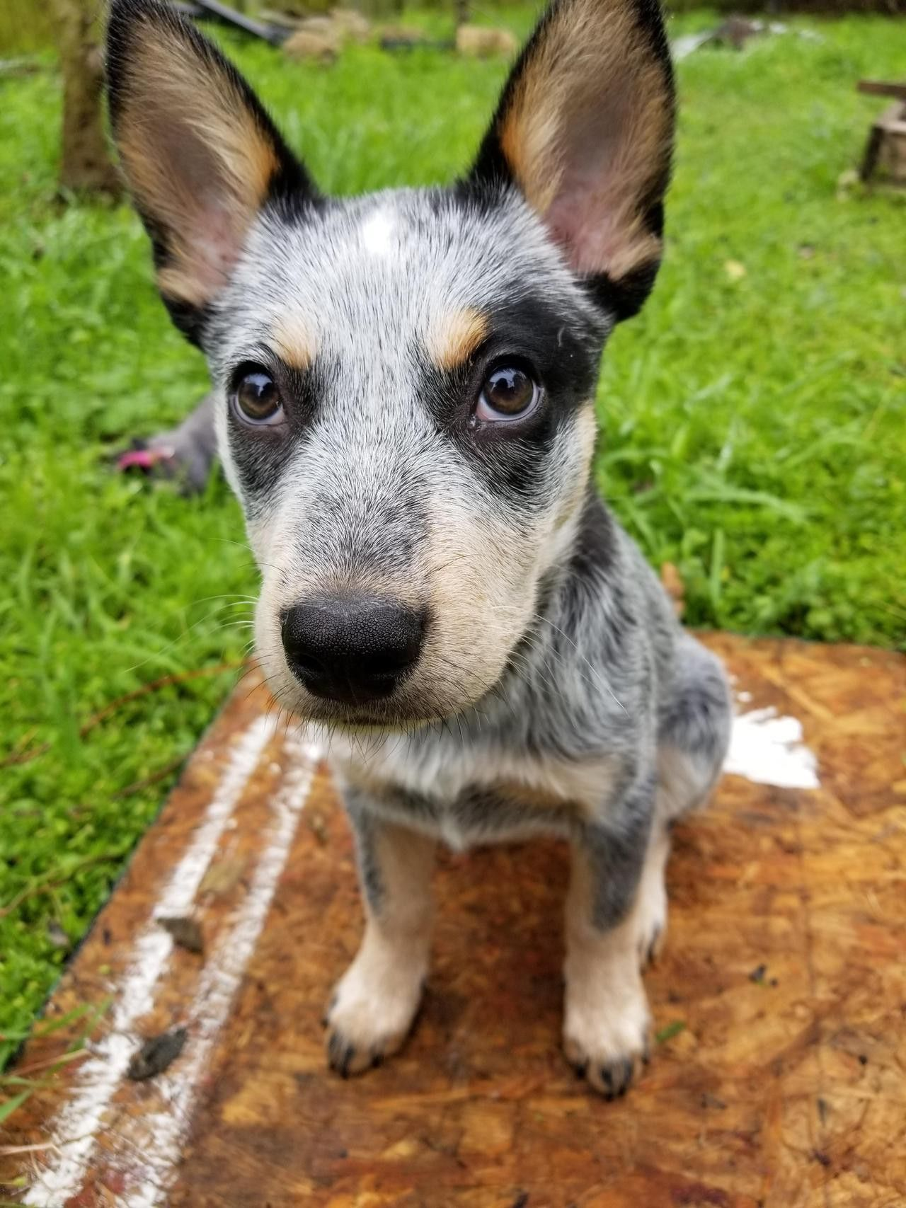 Pin By Nathan Milkie On Dogs Australian Cattle Dog