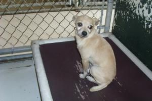 Ozzie URGENT is an adoptable Chihuahua Dog in Lavonia, GA. Adoption Fee: Cat-$45 Dog -$55 Adoption Fee includes Spay/Neuter and Rabies vaccine....