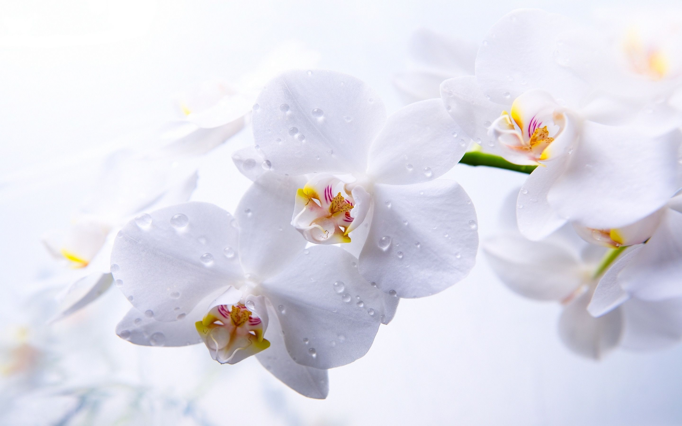 Orchid Flowers Closeup