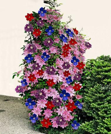 wow i never even considered mixing clematis stunning clematis mixed trees and shrubs from. Black Bedroom Furniture Sets. Home Design Ideas