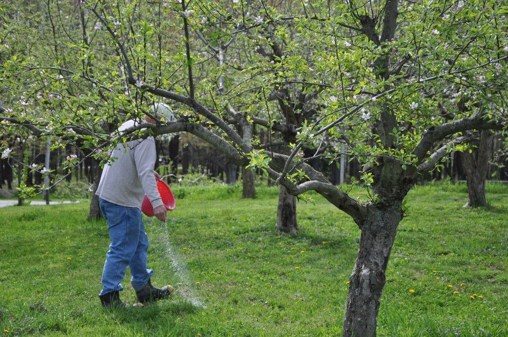 How To Feed Fertilize Fruit Trees Fruit Trees Growing Fruit Trees Fruit Garden