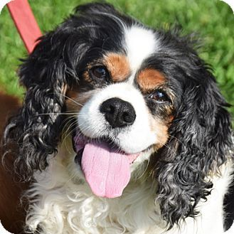8 2 17 Cavalier King Charles Spaniel Mix Dog For Adoption In Huntley Illinois Teddy Cavalier King Charles King Charles Spaniel Cavalier King Charles Spaniel