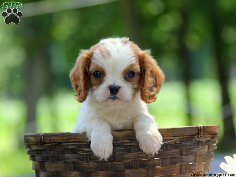 Heidi cavalier puppy for sale from honey brook pa