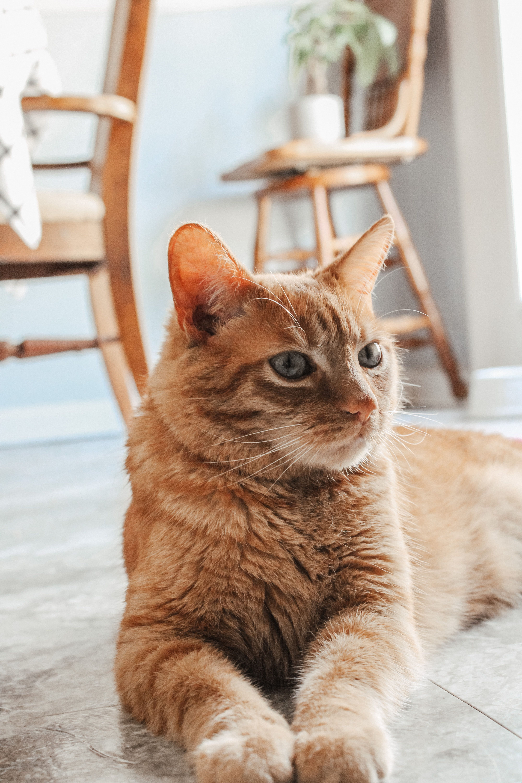 Cute Orange Cat Beautiful Orange Cat In 2020 Beautiful Cats Cute Cat Wallpaper Orange Tabby Cats
