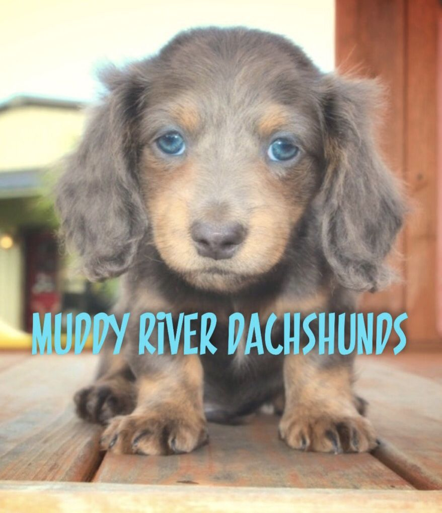 Muddy river dachshund longhair blue and tan mini dachshund future
