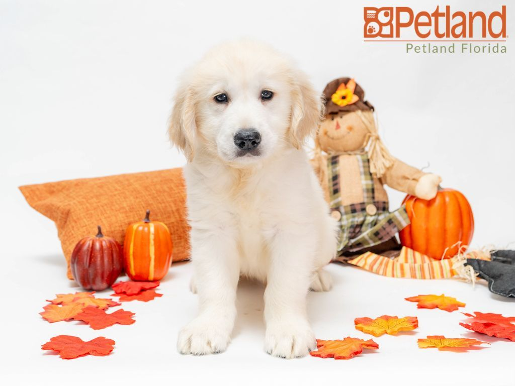 Petland Florida Has Golden Retriever Puppies For Sale Check Out All Our Available Puppies Goldenretriever Puppy D Puppy Friends Golden Retriever Puppies