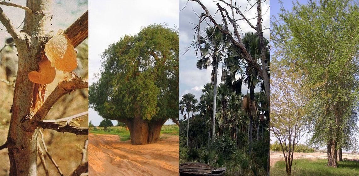 اشجار السودان Tree Plants Tree Trunk